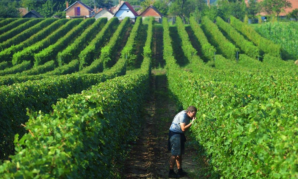 Monori eredetmegjelölésű bor