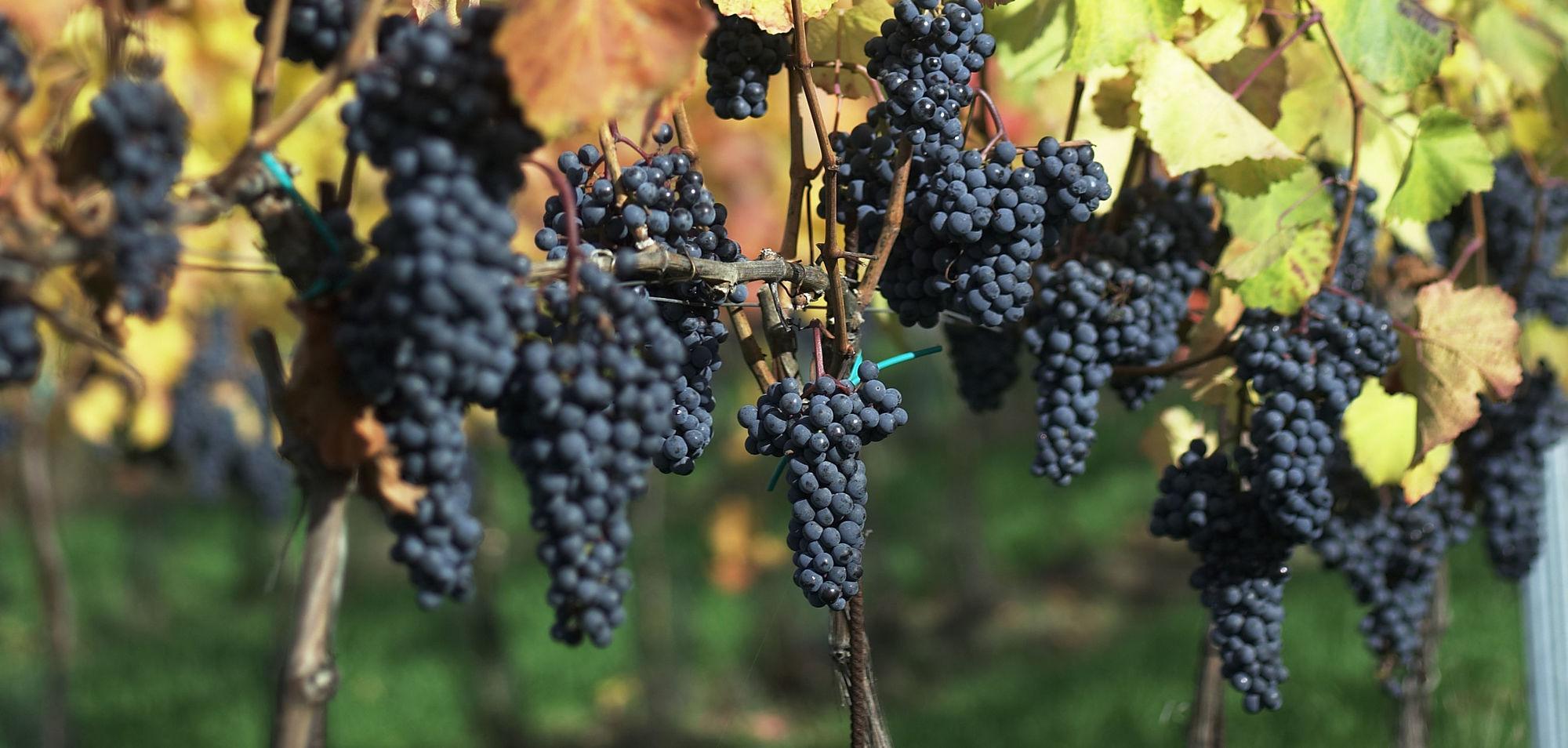 Kékfrankos szőlő és bora
