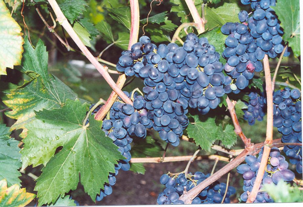 Néró szőlő