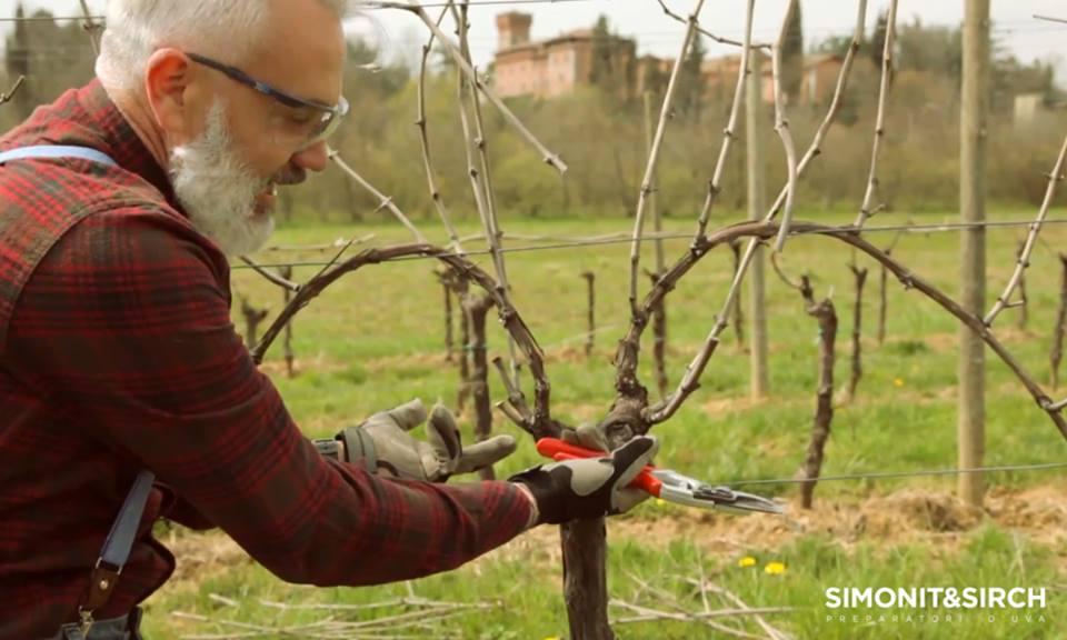 A szőlő metszésmódjai
