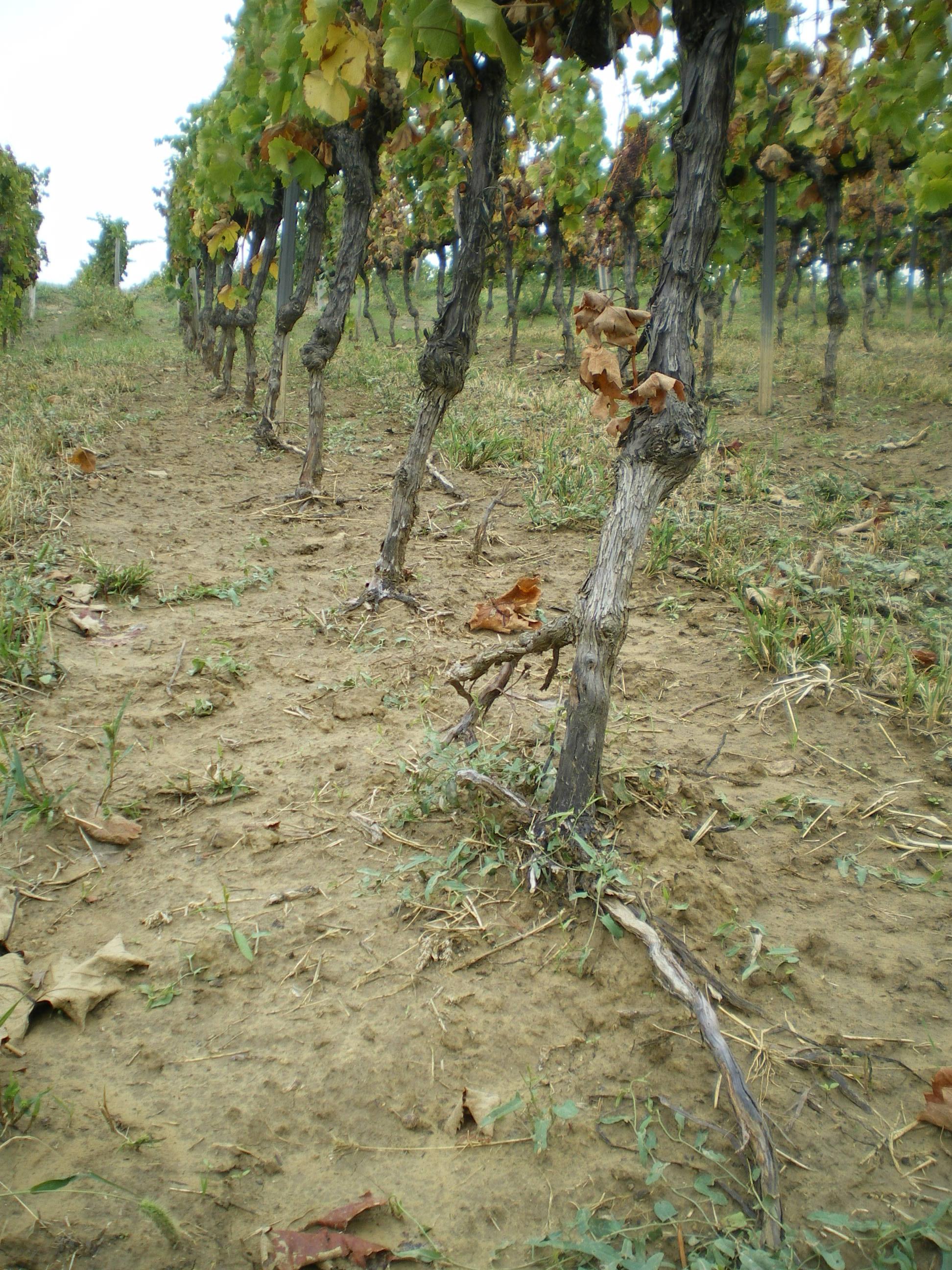 Talajerózió a szőlőben
