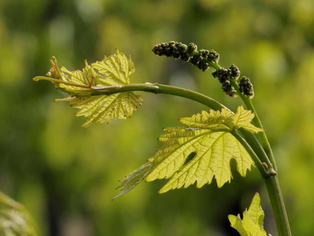 Tavasz a szőlőskertben