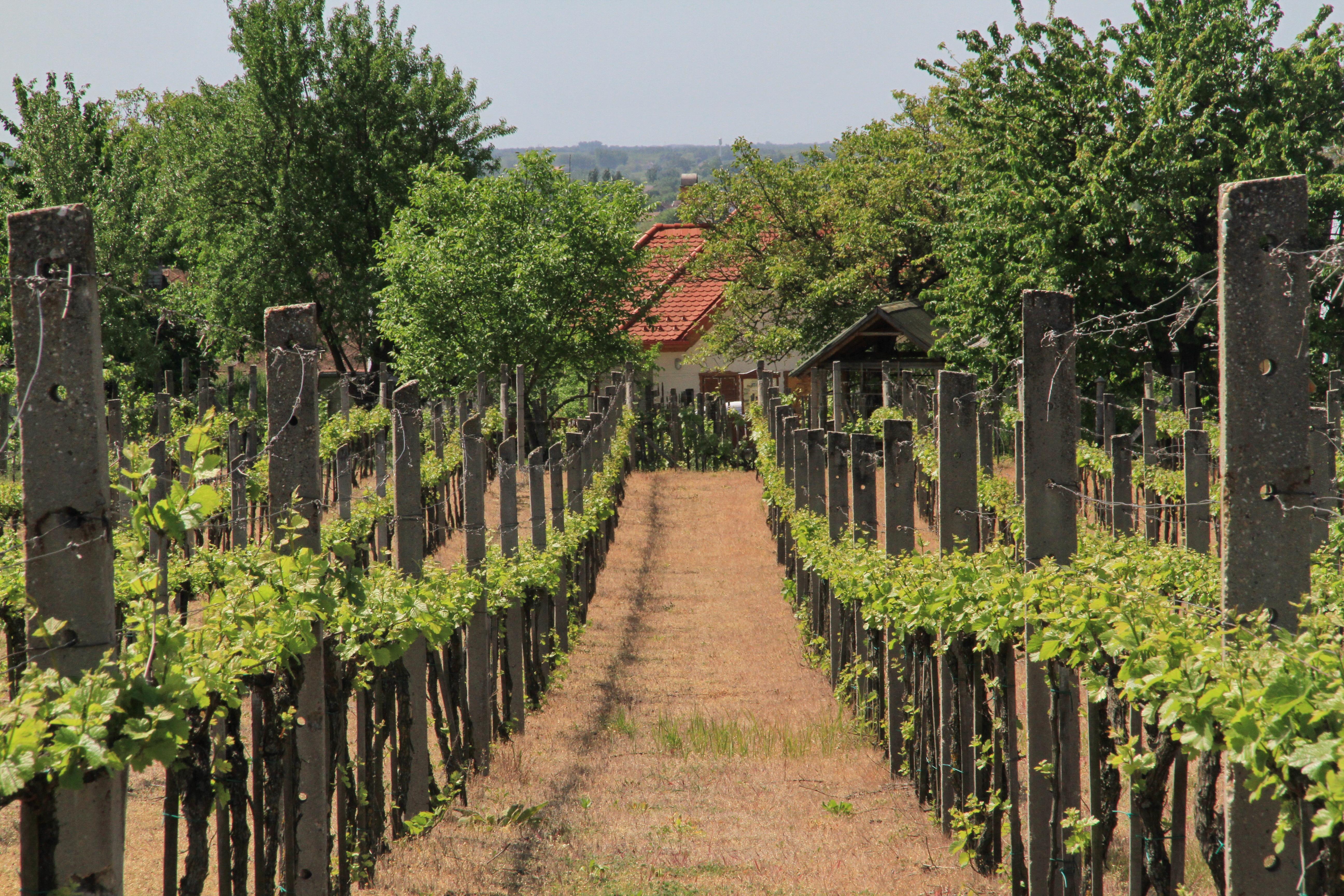 Eladó szőlő a Strázsahegyen