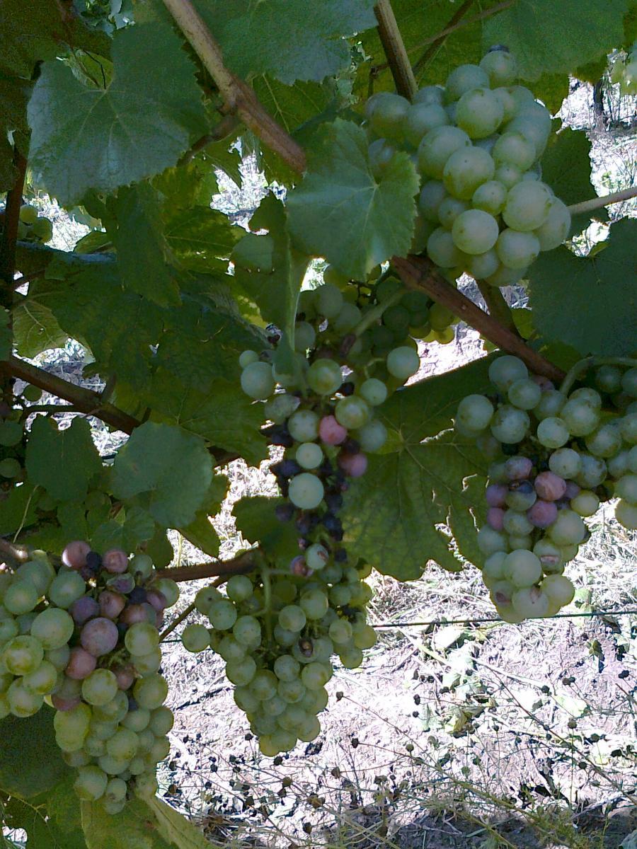 A szőlő feketerothadása