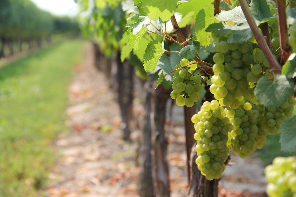 Klímaváltozás, szőlőültetvény