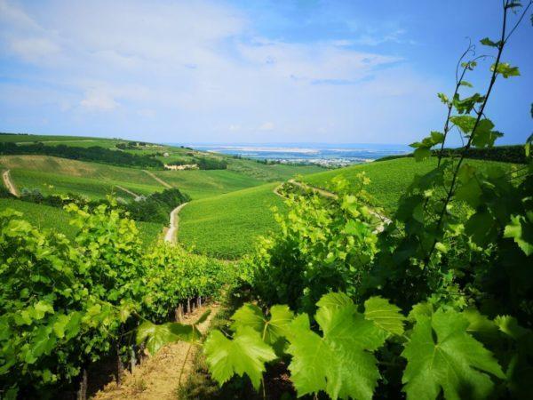 A szőlő innovatív növényvédelme