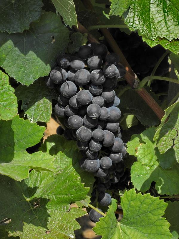 Pinot noir szüret előtt