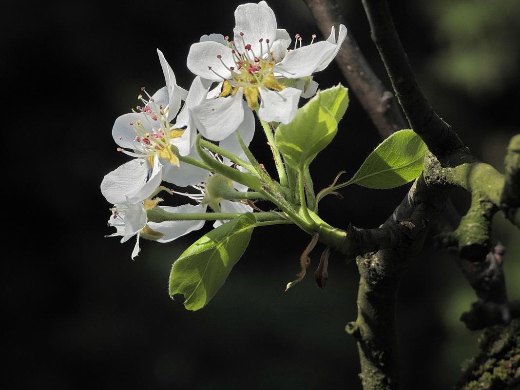 Virágzik a feketicsi meggy