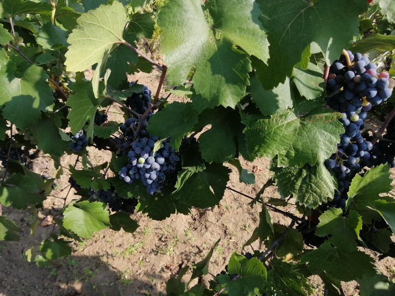 Eladó szőlő Monoron
