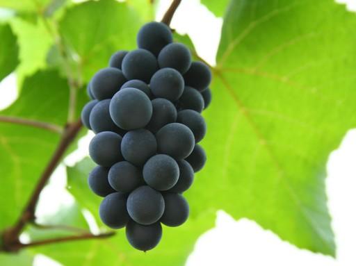 Kékoportó (portugieser) szőlő