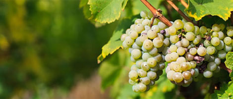 Rajnai Rizling szőlőfajta