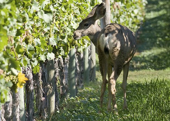 Vadkár a szőlőskertekben, gyümölcsösökben