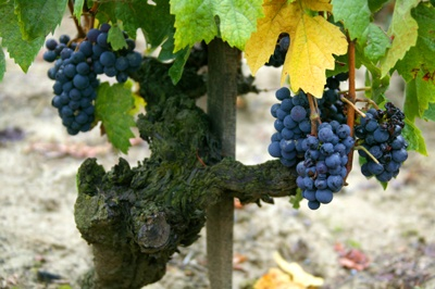 Kadarka szőlőfajta