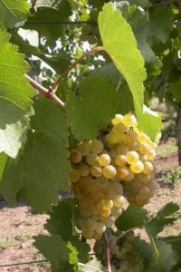 Karát szőlő