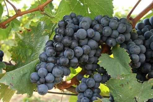 Kékfrankos szőlő