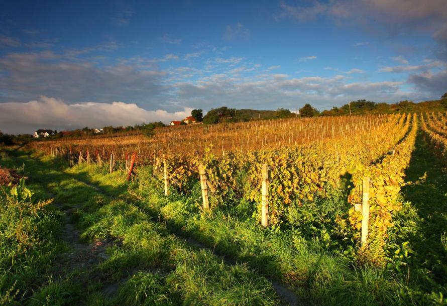 Klímaváltozás hatása a szőlőkre