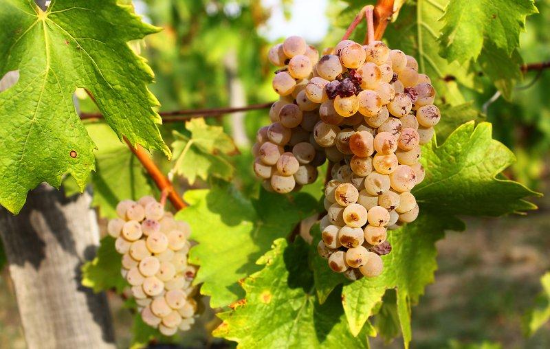 Olaszrizling szőlőfajta