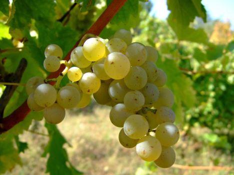 Sauvignon szőlőfajta