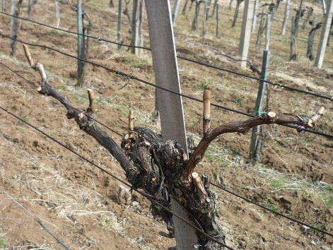 Gondolatok a szőlőmetszésről