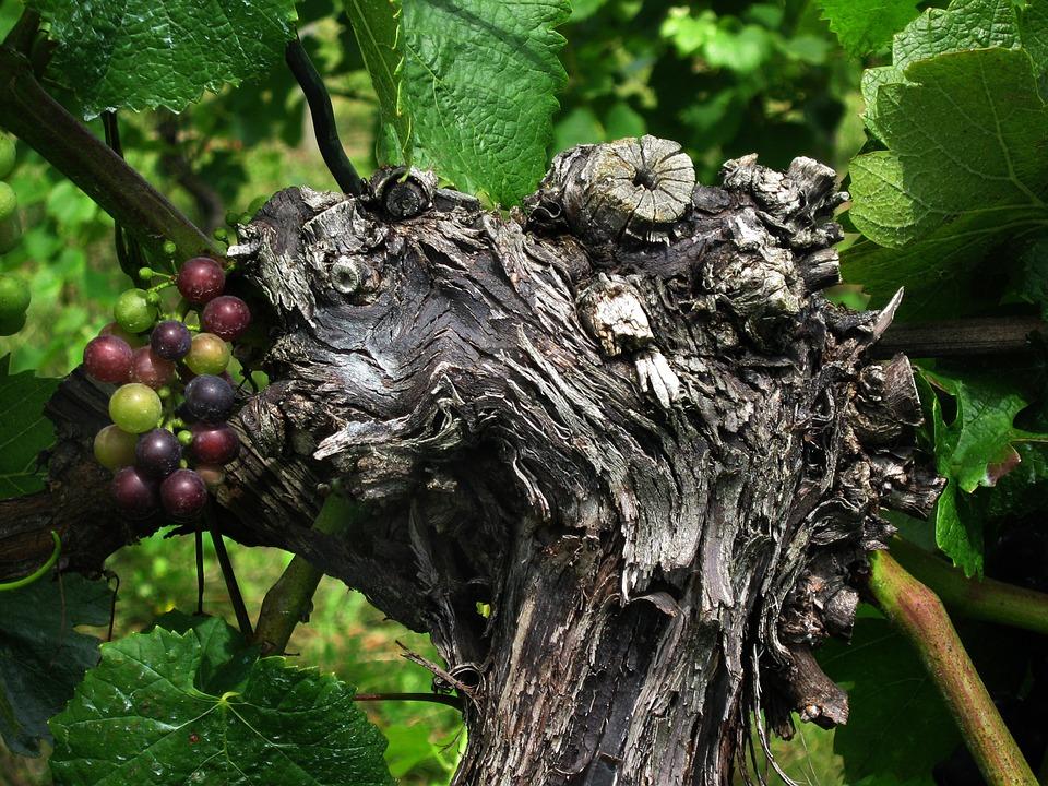 Öreg szőlőtőke ujjászületik