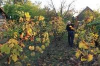 Eladó szőlő és présház pincével, szerszámos kamrával