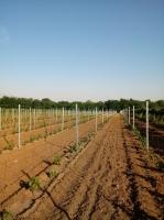 Monori szőlőtelepítők IV