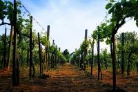 Monornak saját szőlőhegye, szőlőskertjei vannak