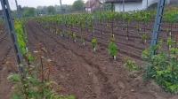 Monori szőlőtelepítők VII.