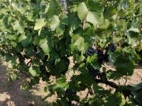 Eladó borszőlő Monoron